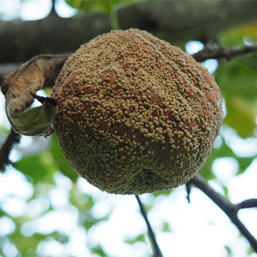 Manzana podrida en la rama de un manzano