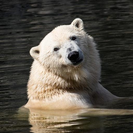 Oso polar dándose un baño
